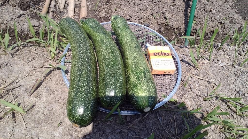 ズッキーニの収穫
