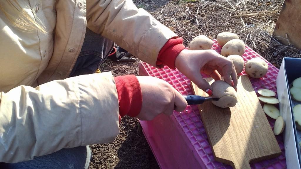 ジャガイモの超浅植え&へそ取り栽培