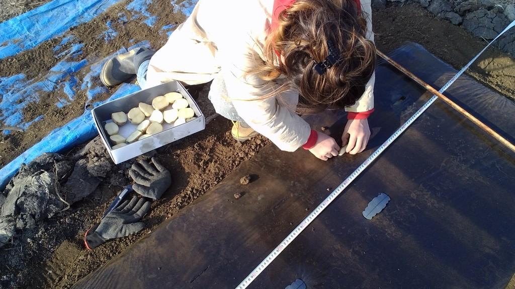 ジャガイモの逆さ植え&超浅植え栽培