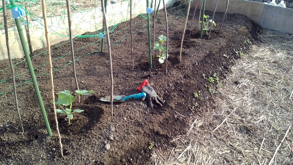 長芋とキュウリの混植栽培
