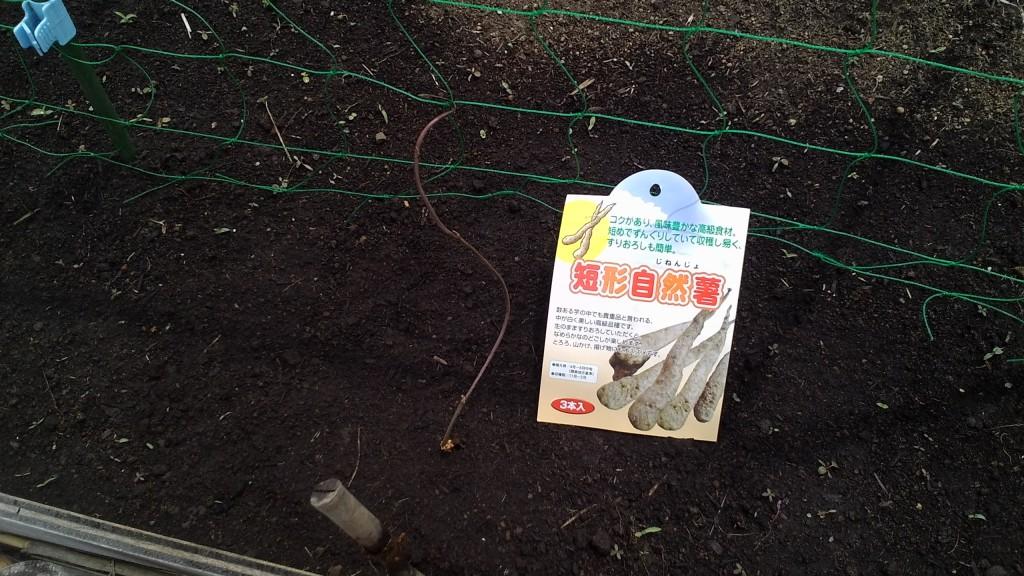 自然薯栽培