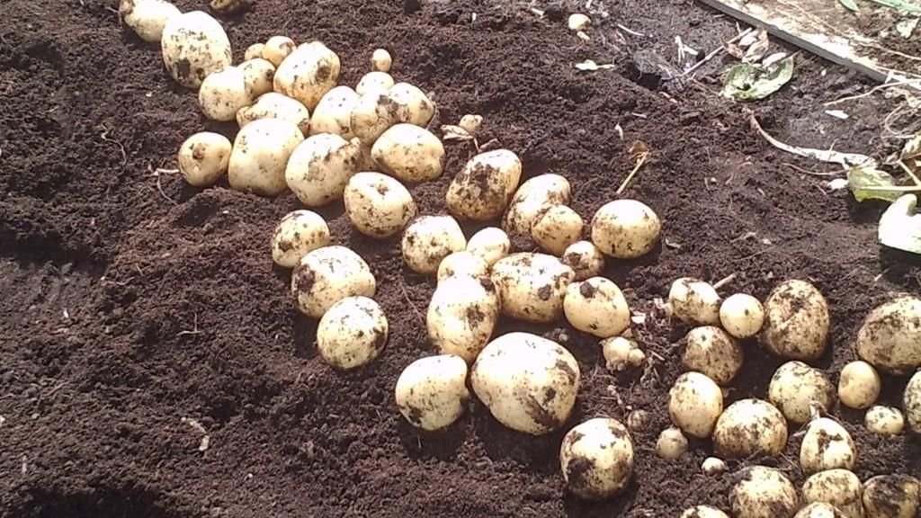 じゃがいも超浅植えの収穫結果