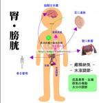 腎膀胱 臓象