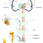 脊髄視床路