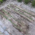 チジミ小松菜の若芽
