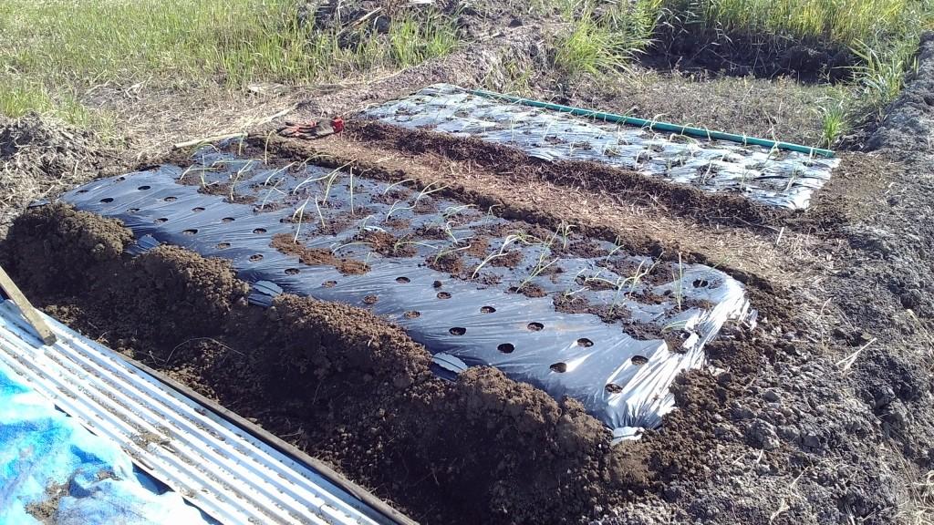 玉葱の植え付け