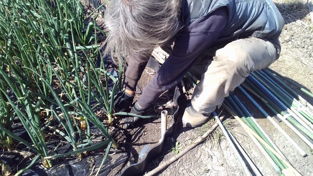 葉玉葱の収穫
