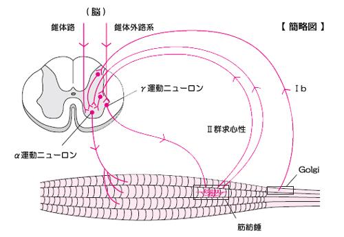運動路と固有受容器反射