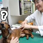 動物の鍼(3)鍼灸学校に通う獣医師 医道の日本より