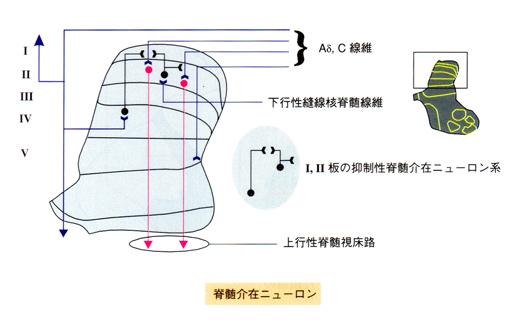 ゲートコントロール 脊髄介在ニューロン