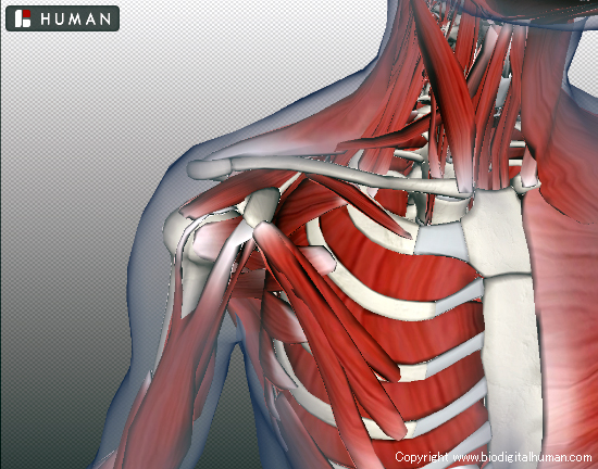 BioDigital Human  Explore the Body in 3D 東洋医学の穴
