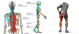 筋連結と関連痛