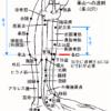 「条口から承山への透刺」その適応 - 現代医学的鍼灸治療